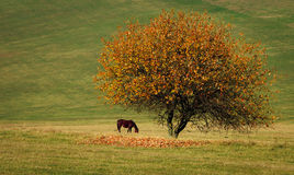 Βόσκοντας άλογο Στοκ Φωτογραφίες
