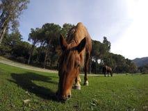 βόσκοντας άλογο Στοκ εικόνες με δικαίωμα ελεύθερης χρήσης