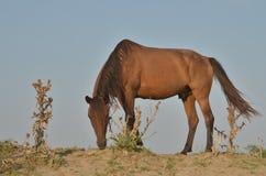 Βόσκοντας άλογο Στοκ Εικόνες