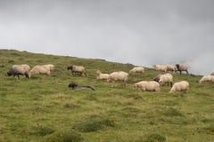 Βόσκοντας έδαφος με τα πρόβατα 2 Στοκ φωτογραφία με δικαίωμα ελεύθερης χρήσης