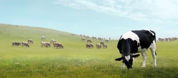 Βόσκοντας αγελάδα σε ένα λιβάδι Στοκ Εικόνα