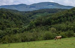 Βόσκοντας αγελάδα στα βουνά Στοκ Φωτογραφίες