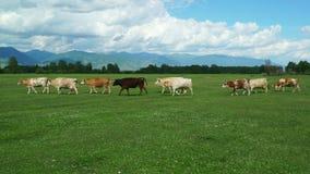 Βόσκοντας αγελάδες στον πράσινο τομέα θερινών λιβαδιών απόθεμα βίντεο