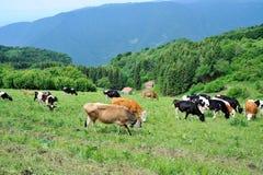 Βόσκοντας αγελάδες στο βουνό Στοκ Εικόνες