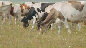 Βόσκοντας αγελάδες στο λιβάδι, με τα μικρά κέρατα, τα διαφορετικά χρώματα, και τις γαλακτοκομικές φυλές απόθεμα βίντεο
