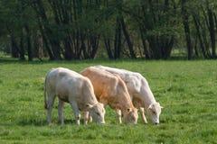 Βόσκοντας αγελάδες στο λιβάδι Στοκ εικόνα με δικαίωμα ελεύθερης χρήσης