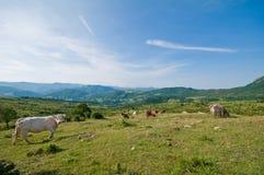 Βόσκοντας αγελάδες Apennines Στοκ εικόνα με δικαίωμα ελεύθερης χρήσης