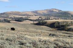 Βίσωνας σε Yellowstone Στοκ Εικόνες