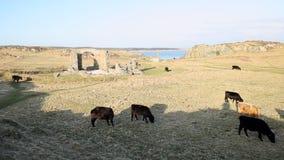 Βόσκοντας βοοειδή νησιών Llanddwyn φιλμ μικρού μήκους