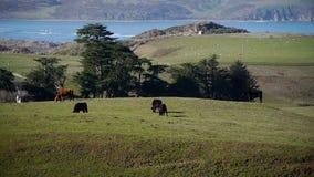 Βόσκοντας βοοειδή στους πράσινους τομείς απόθεμα βίντεο