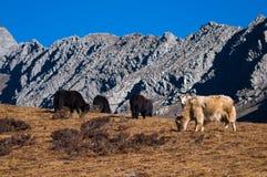βόσκοντας βουνά yaks Στοκ Εικόνα