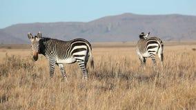 Βόσκοντας βουνό Zebras ακρωτηρίων απόθεμα βίντεο