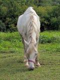 Βόσκοντας γκρίζο άλογο χρώματος παλτών Στοκ Φωτογραφία