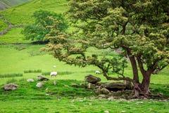 Βόσκοντας κοπάδι των sheeps κοντά στο μεγάλο δέντρο στη λίμνη περιοχής Στοκ Φωτογραφία