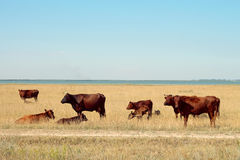 βόσκοντας λίμνη βοοειδών  στοκ φωτογραφίες με δικαίωμα ελεύθερης χρήσης