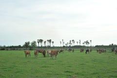βόσκοντας λόφος αγελάδων Στοκ εικόνες με δικαίωμα ελεύθερης χρήσης