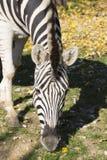 Βόσκοντας με ραβδώσεις Damara, πορτρέτο antiquorum burchelli Equus Στοκ εικόνες με δικαίωμα ελεύθερης χρήσης