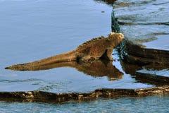 βόσκοντας ναυτικό iguana Στοκ Φωτογραφία