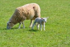 Βόσκοντας προβατίνα και αρνί στοκ εικόνες