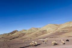 Βόσκοντας πρόβατα και αίγες στις πετρώδεις επίγειες πεδιάδες Στοκ Φωτογραφίες