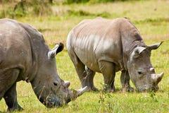βόσκοντας ρινόκερος δύο &l Στοκ φωτογραφίες με δικαίωμα ελεύθερης χρήσης