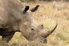 βόσκοντας ρινόκερος Στοκ Φωτογραφία
