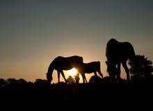 βόσκοντας σκιαγραφίες τρία αλόγων Στοκ Εικόνες