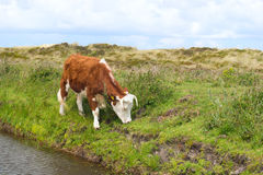 Βόσκοντας χλόη αγελάδων Hereford Στοκ εικόνες με δικαίωμα ελεύθερης χρήσης