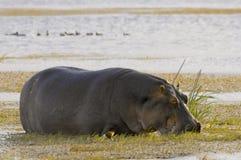 βόσκοντας ύδωρ λιβαδιών hippo Στοκ εικόνα με δικαίωμα ελεύθερης χρήσης