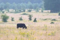 Βόσκοντας galloway αγελάδα Στοκ Εικόνες