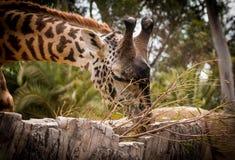 Βόσκοντας Giraffe Στοκ φωτογραφίες με δικαίωμα ελεύθερης χρήσης