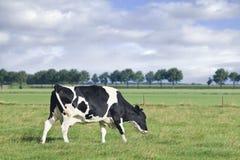 Βόσκοντας Holstein-Friesian αγελάδα σε ένα πράσινο ολλανδικό λιβάδι Στοκ Εικόνες