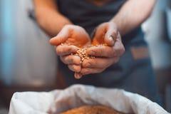 Βύνη στα χέρια της κινηματογράφησης σε πρώτο πλάνο ζυθοποιών Κρατά το σιτάρι σε PAL στοκ φωτογραφία με δικαίωμα ελεύθερης χρήσης