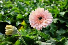 Βλάστηση εναντίον της άνθισης άσπρο Gerbera Daisy Στοκ Εικόνες