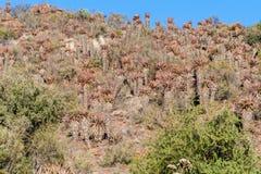 Βλάστηση χρώματος βουνοπλαγιών δωδεκάδων αλόης στοκ φωτογραφία