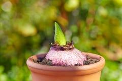 Βλάστηση Hyacinthus Στοκ Εικόνες