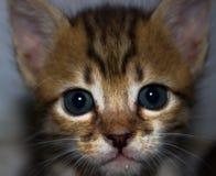Βλέμμα της γάτας γατακιών με τα μπλε μάτια Στοκ Φωτογραφία