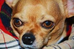 Βλέμμα Chihuahua Στοκ φωτογραφία με δικαίωμα ελεύθερης χρήσης