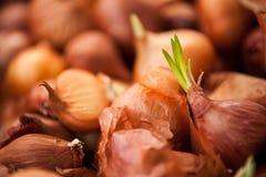 Βλαστάνοντας κρεμμύδια στοκ εικόνα
