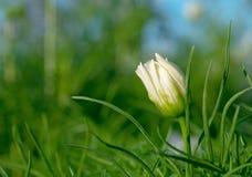 Βλαστάνοντας λουλούδι κόσμου Στοκ Εικόνες