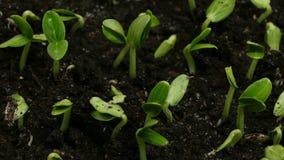 Βλασταίνοντας άνοιξη Timelapse γεωργίας σπόρων αγγουριών απόθεμα βίντεο