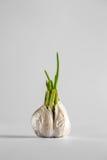 Βλαστημένο σκόρδο σε ένα άσπρο υπόβαθρο Στοκ εικόνα με δικαίωμα ελεύθερης χρήσης