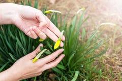Βλαστοί άνοιξη των ναρκίσσων Σάλπιγγα daffodil Στοκ Εικόνες