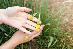 Βλαστοί άνοιξη των ναρκίσσων Σάλπιγγα daffodil Στοκ Φωτογραφία
