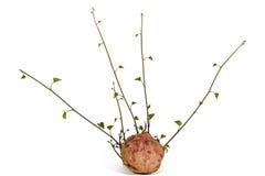 Βλαστοί γλυκών πατατών και πράσινα φύλλα στο άσπρο υπόβαθρο Στοκ εικόνα με δικαίωμα ελεύθερης χρήσης