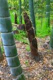 Βλαστός μπαμπού (νεαρός βλαστός μπαμπού) στο έδαφος στο δάσος μπαμπού Στοκ Εικόνες