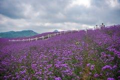 Βλαστός στο μεγάλο lavender τομέα στοκ εικόνες