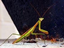 Βλαστός φωτογραφιών επίκλησης Mantis Στοκ Φωτογραφίες