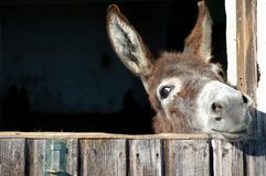 γάιδαρος αστείος Στοκ εικόνες με δικαίωμα ελεύθερης χρήσης