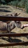 Γάιδαρος πίσω από έναν ξύλινο φράκτη στη Σαρδηνία στοκ φωτογραφίες με δικαίωμα ελεύθερης χρήσης